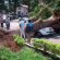 Driver Escapes Death In Ghana As Big Mahogany Tree Falls On His Car